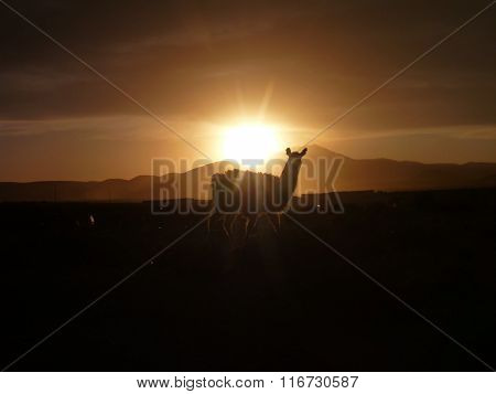 Llama At The Beautiful Sunset At Altiplano