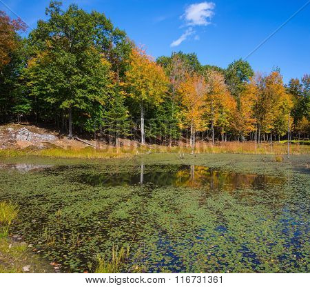 Adorable little lake overgrown with water plants. Yellow autumn leaves in zoological park  in Canada