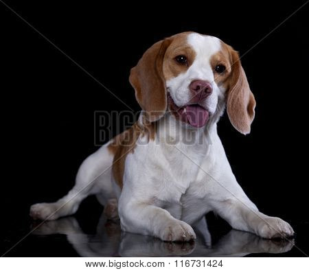 Portrait of a beagle on a black background