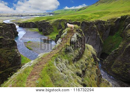 Neverland Iceland. Sheep on a rock in the canyon Fjadrargljufur
