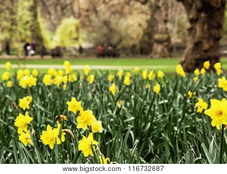 Spring Yellow Daffodils In The Saint James's Park, London, Great Britain