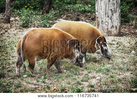 Pair Of Red River Hog (potamochoerus Porcus), Animal Scene