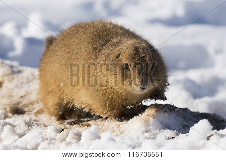 Winter Prairie Dog