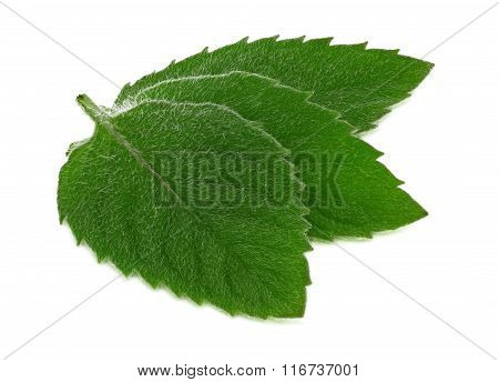 Close-up View Of Three Green Mint Leaves (isolated)
