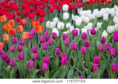 Colorful Tulips Fields In The Garden
