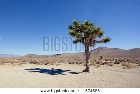 Shadow Of The Joshua Tree