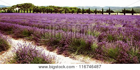 Summer Landscape With Lavender Field In Provence, Southern France.
