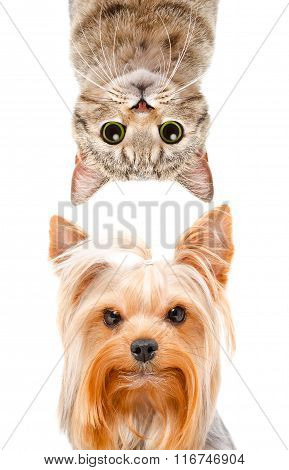 Funny portrait of a Yorkshire terrier and cat Scottish Straight