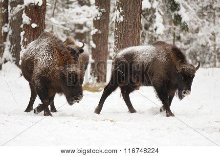 Pair Of Mature European Bisons In Winter In Orlovskoye Polesie National Park In Russia
