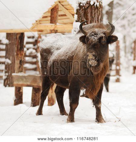 Mature European Bisons In Winter In Orlovskoye Polesie National Park In Russia
