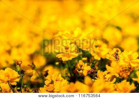 Yellow Cosmos Flower And Blurred Background