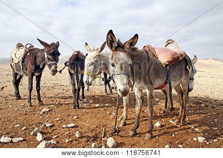 Saddled Donkeys In The Desert
