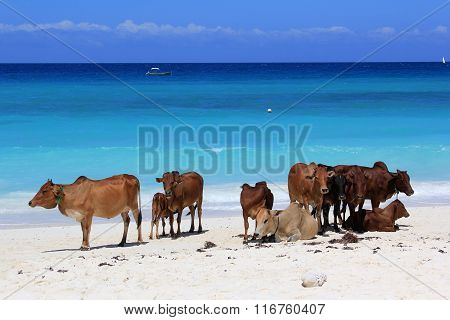 A Herd Of Cows On The Beach