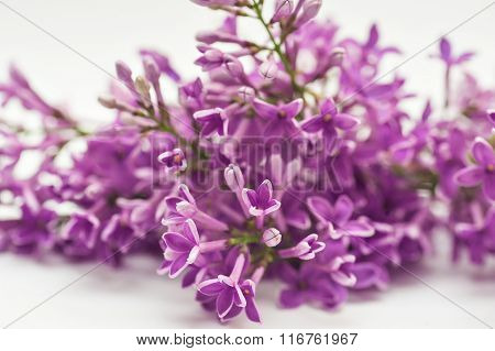 Beautiful Spring Lilac On A White Background