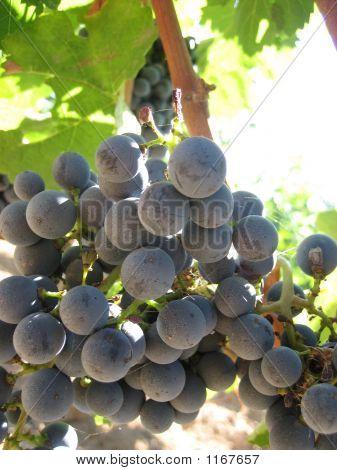 Cabernet Grapes, Bolgheri, Tuscany, Italy
