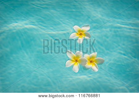Three frangipanis Floating on water of Swimming Pool.