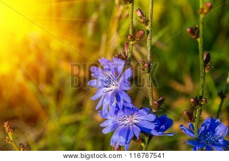 Blue Flowers Of Chicory