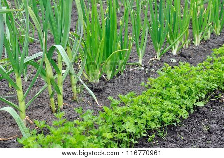 Organically Cultivated Vegetables In The Vegetable Garden