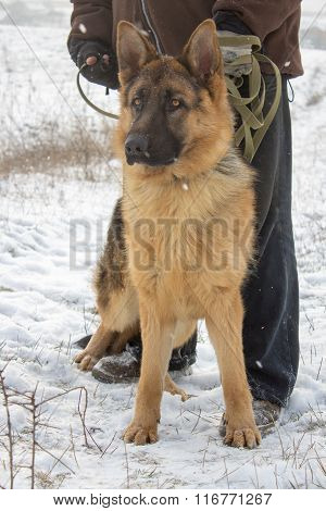 German Dog Portrait On Snow