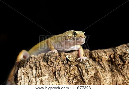 Frontal View A Leopard Gecko On A Tree Trunk