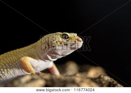 Closeup Of A Leopard Gecko