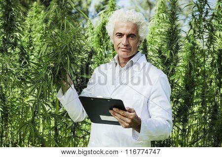 Scientist Checking Hemp Plants