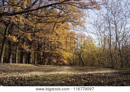 Oak Alley In Autumn