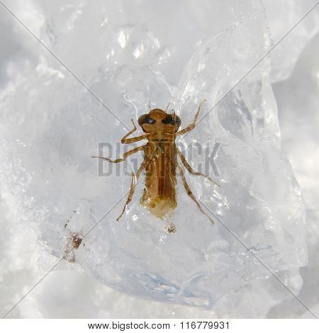 Beetle Frozen In Ice Block. Ice Age.