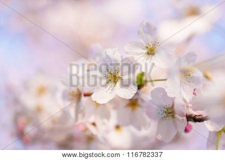 Cherry blossom close-up shallow depth of field..