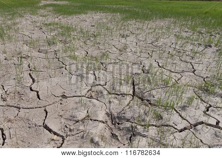 Rice And Grass Dry Land