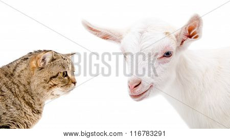 Portrait of a goat and cat Scottish Straight