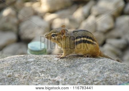 Chipmunk sitting on stone in the Brookfield zoo, USA, North America. Sunset.