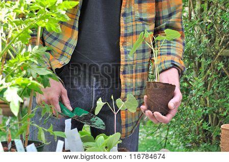 Bean Seedlings Plantation