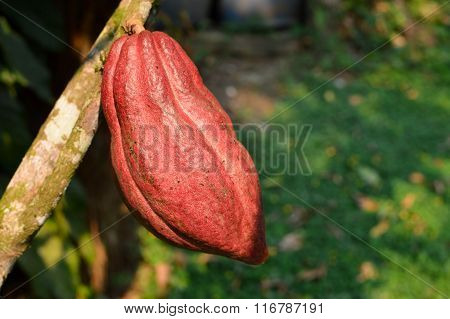 Close up of the ripe cocoa fruit hanging on the tree, Honduras. Shallow depth of field