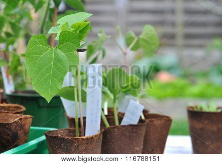 Bean Seedlings Outdoor