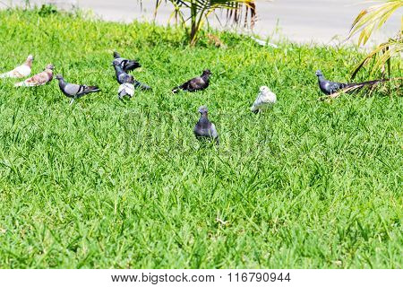 Pigeons Look For Food On Meadow