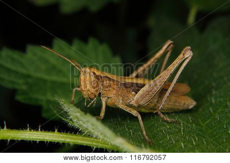 Field Grasshopper (chorthippus Albomarginatus)