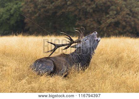 Bugling Bull