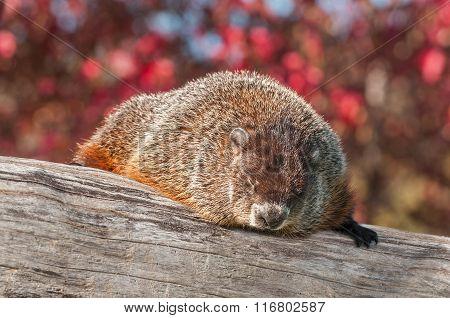 Woodchuck (marmota Monax) Snoozing