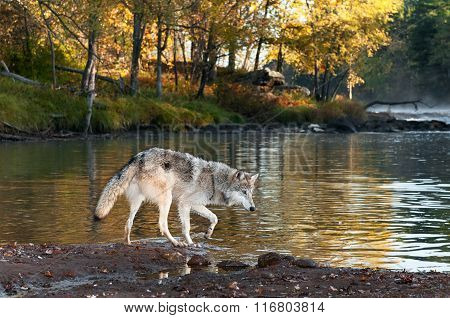 Grey Wolf (canis Lupus) Walks Along Shoreline