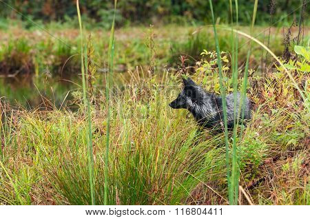 Silver Fox (vulpes Vulpes) Looks Left On Shoreline