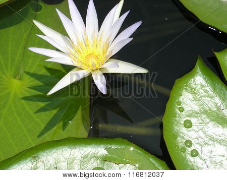 white lotus on the water