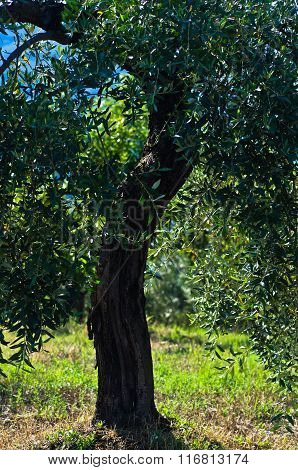 Olive tree on a sunny morning at mediterranean coast in Sithonia
