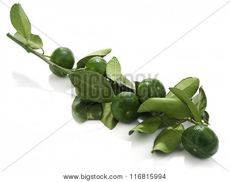 Bough of kumquat hybrid tangerine isolated on white background.