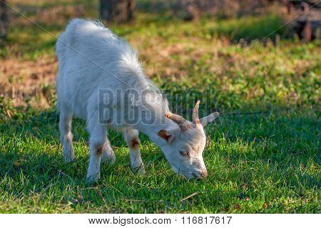 Little Grazing Goat