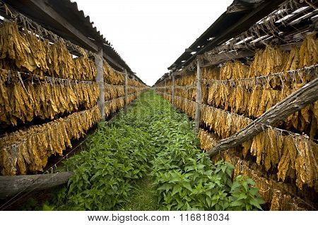 Tobacco Leaves Drying