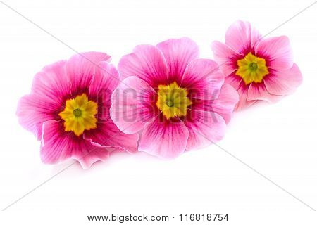 Pink Spring Flowers over White