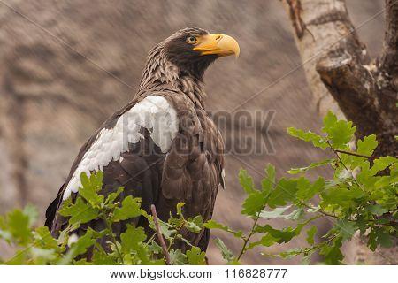 Stelller's Sea Eagle (pelagicus Haliaeetus)