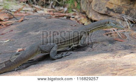 lizard, goanna, australia