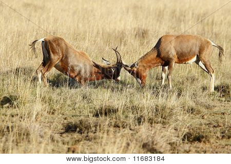 Fighting Bontebok